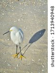 Snowy Egret Waiting On Some...