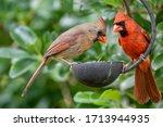 Northern Cardinal Pair Perched...