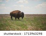 Bison Grazing At The Tallgrass...