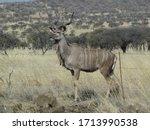 Large Kudu Buck Standing In Th...
