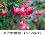 Selective Focus Of Fuchsia...