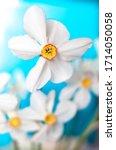 Closeup Of Poet's Daffodil ...