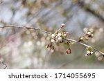 passion blossoms. cherry tree... | Shutterstock . vector #1714055695