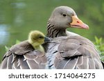 Female Goose With Baby Close Up ...