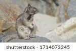 A Grey Ground Squirrel Looks...
