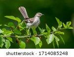 Mockingbird In Mulberry Tree In ...
