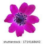 Anemone Flower Wild  Isolated...