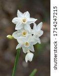 Paperwhite  Narcissus...