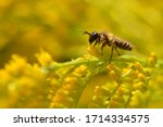 Small photo of Andrena flavipes on a Canada goldenrod