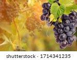 Fresh Ripe Juicy Grapes Growing ...