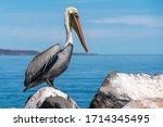 Pelican In Loreto Mexico Baja...