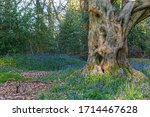 Bluebells Carpet In An Ancient...
