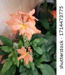 Blossom Of Orange Kanakambaram...