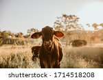 Young Cow Standing In The Grass