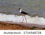 A Juvenile Black Winged Stilt...