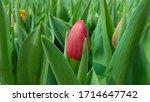 Red Tulip Blooms. Blooming...