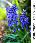 Macro Image Of Blue Hyacinth