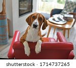Drever, breed of dog, short-legged scenthound from Sweden used for hunting deer and other game. Dog is standing on red armchair