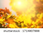 Yellow Autumn Maple Leaves In A ...