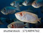 A School Of Silvery Fish With...