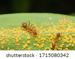 Weaver Red Ants Keeping Yellow...
