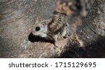 Cute Siberian Flying Squirrels...