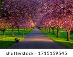 Avenue Of Cheery Blossom Trees...