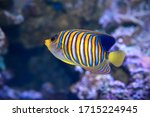 Royal Angelfish Pygoplites...