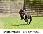 Boston Terrier Playing In A Dog ...