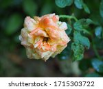 the beautiful roses in my...   Shutterstock . vector #1715303722
