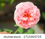 the beautiful roses in my...   Shutterstock . vector #1715303725