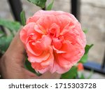 the beautiful roses in my...   Shutterstock . vector #1715303728