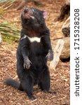 Small photo of Tasmanian devil standing on his feet, Australian wildlife
