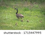 A Mother Canadian Goose Leads...