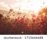 Silhouette Pink Cosmos Flower...