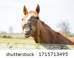 Horse Smiling And Saying Hello