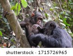 Chimpanzees In Gombe National...