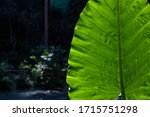 Green Leaf Of Tropical Plant In ...