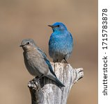 Mountain Bluebird Pair House Hunting - A pair of Mountain Bluebirds pause for a rest during their house hunting expedition. Dillon, Colorado.