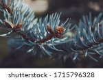 Blue Spruce Tree In The Forest...