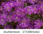 Fuchsia Flowers  Daisy Type ...