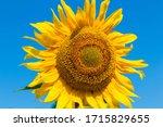 Helianthus Annuus  Blooming...