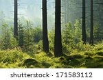 Sunlit Foggy Spruce Tree Forest