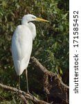 great egret  ardea alba  in... | Shutterstock . vector #171585452