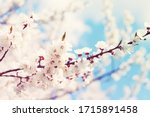 Spring Flowering Trees With...