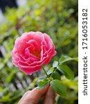 the beautiful roses    Shutterstock . vector #1716053182