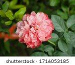 the beautiful roses    Shutterstock . vector #1716053185
