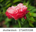 the beautiful roses i   Shutterstock . vector #1716053188