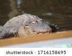 The Crocodile Over The Lake And ...