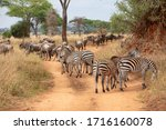 A large herd of zebras and gnus ...